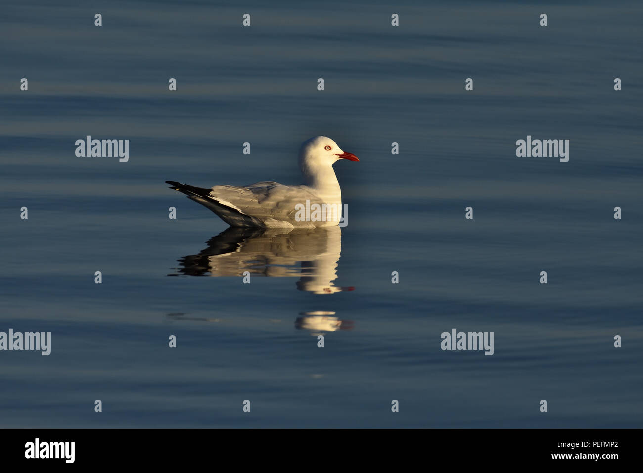 An Australian, Queensland Adult Silver Gull ( Larus novaehollandiae ) floating in the ocean Stock Photo