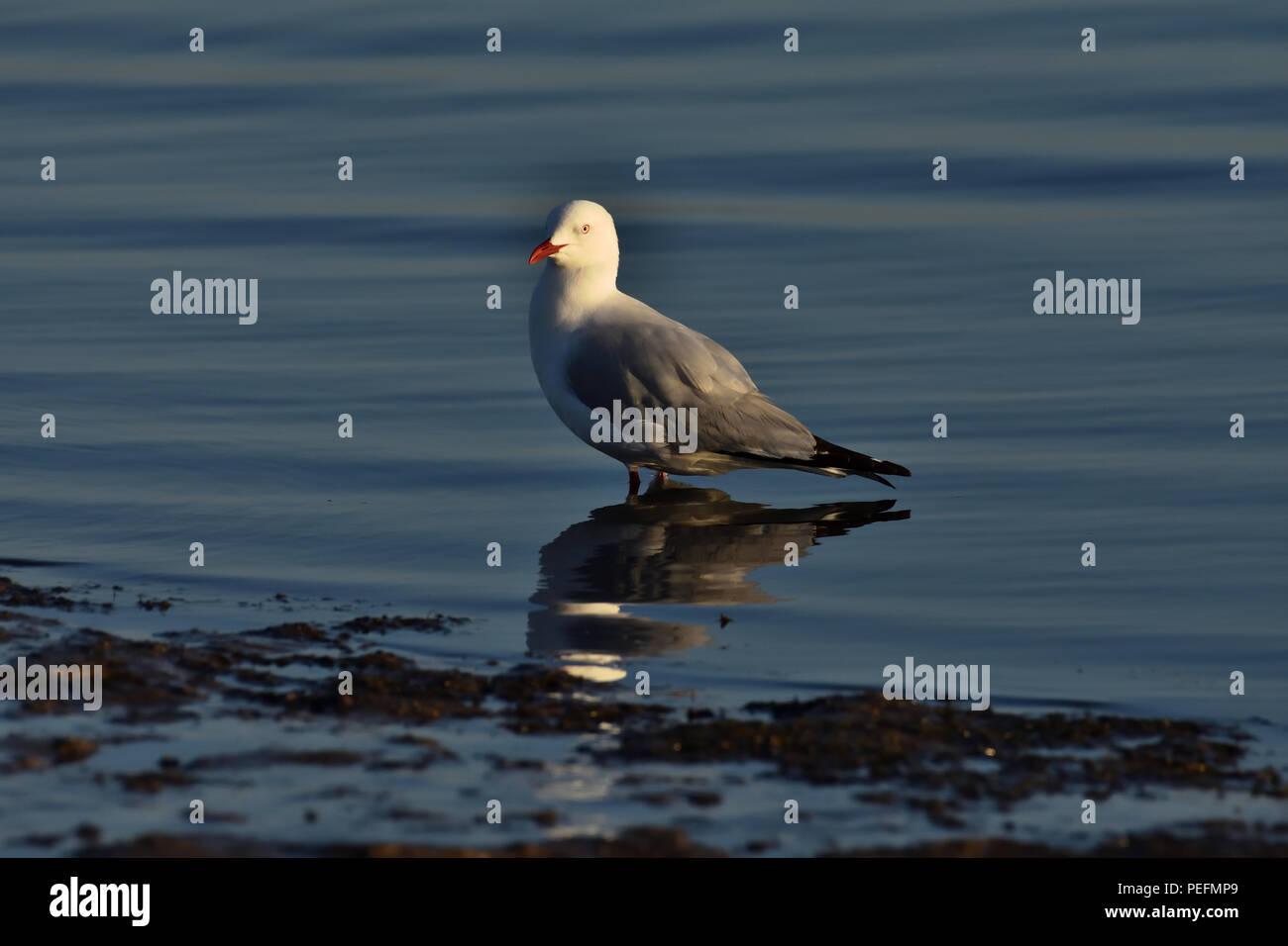 An Australian, Queensland Adult Silver Gull ( Larus novaehollandiae ) standing in low tide - Stock Image