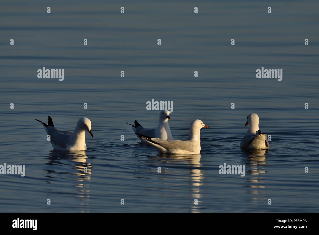 Australian, Queensland Immature Silver Gulls ( Larus novaehollandiae ) floating in the ocean Stock Photo