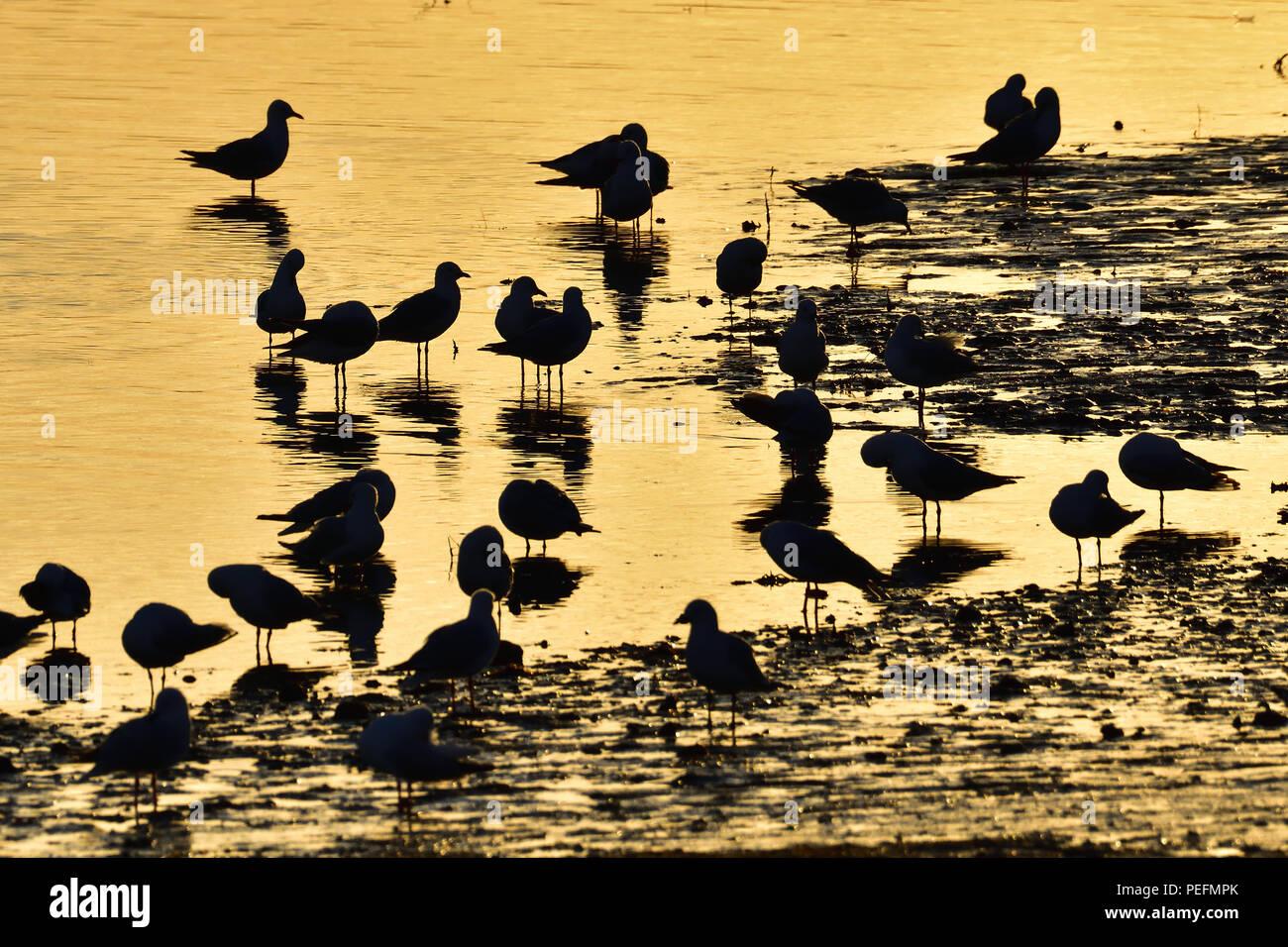 A flock of Australian, Queensland Silver Gulls ( Larus novaehollandiae ) standing in low tide at sunrise - Stock Image