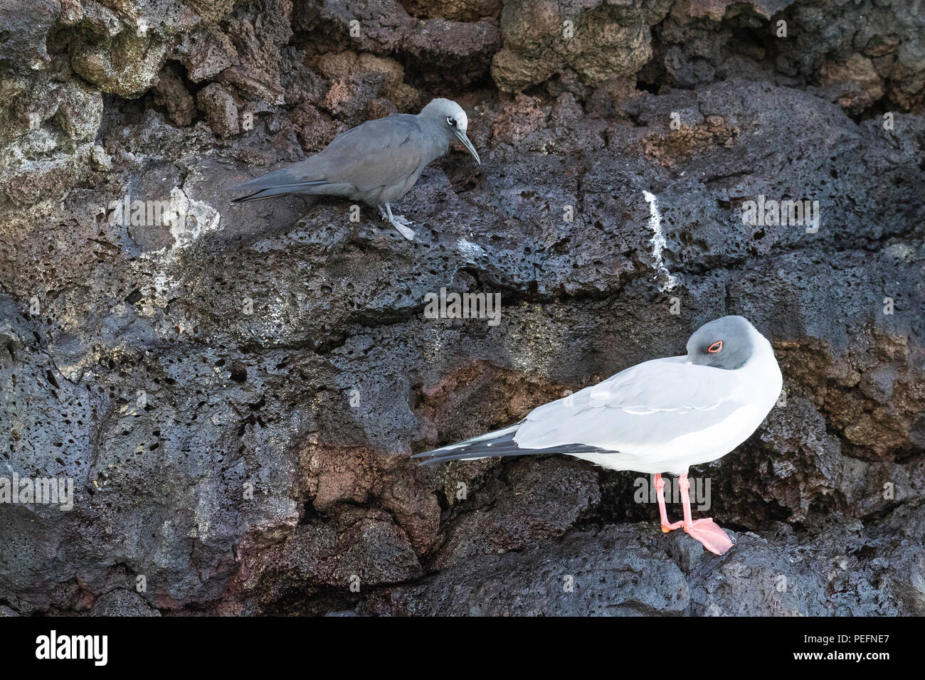 Adult Swallow-tailed gull, Creagrus furcatus, with a brown noddy, Anous stolidus, Floreana Island, Galápagos, Ecuador. - Stock Image
