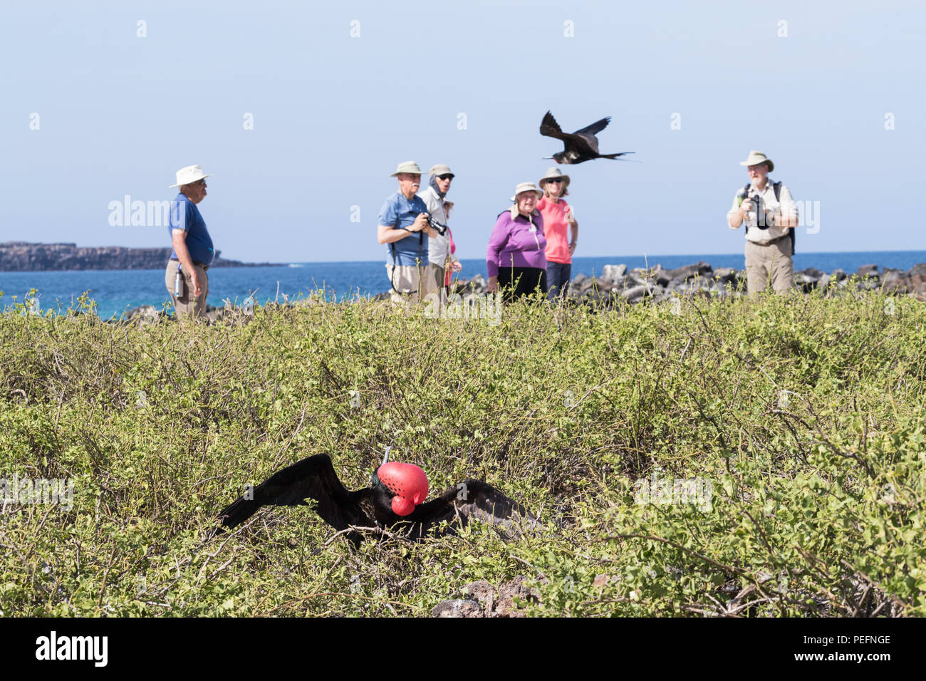 Adult male great frigatebird, Fregata minor, courtship display. Genovesa Island, Galápagos, Ecuador. Stock Photo