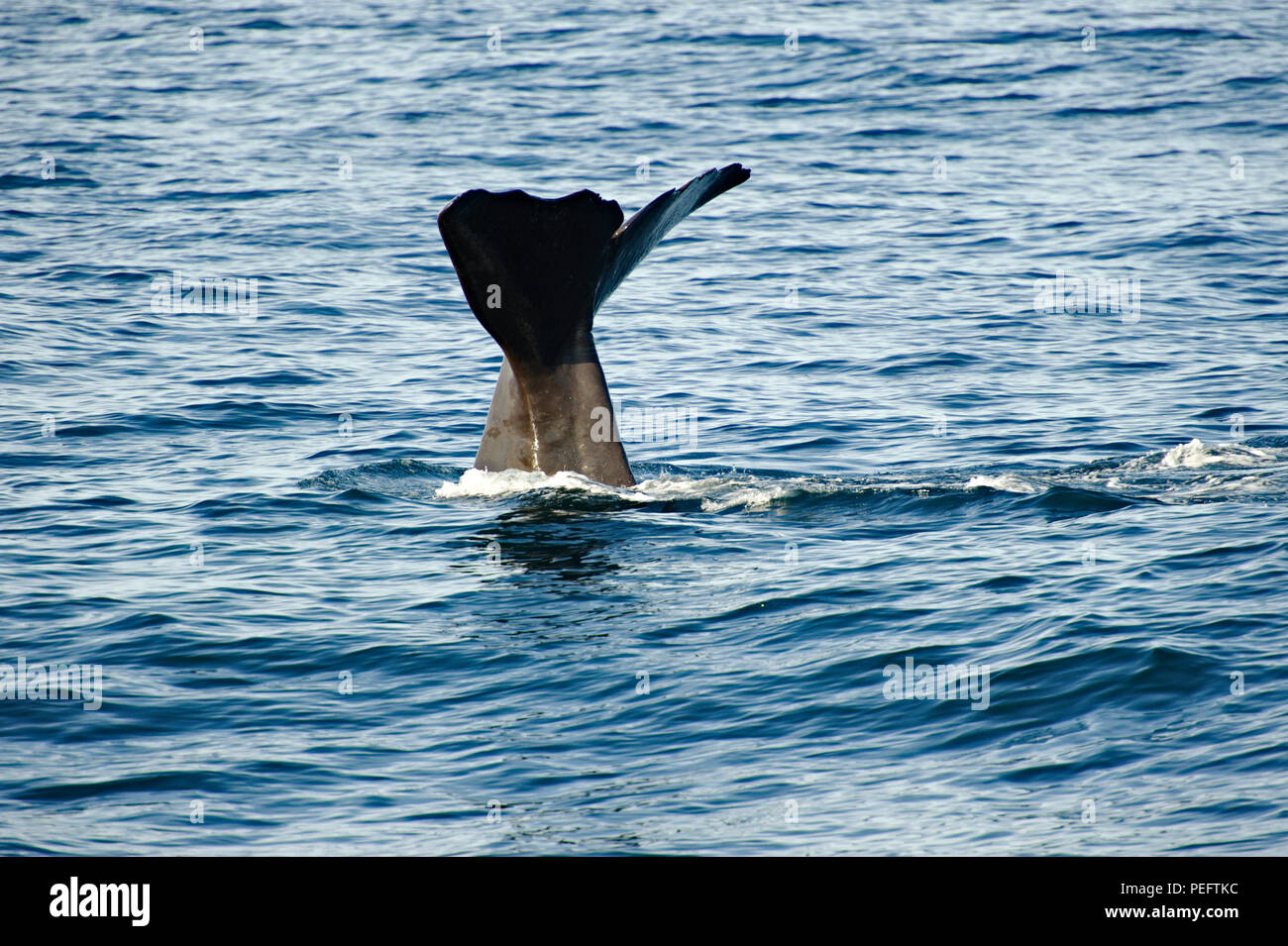 Spermwhale diving to hunt, Kaikoura Coast, South Island, New Zealand - Stock Image