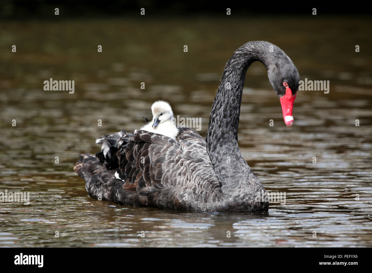 The last breeding pair of black swans in Dawlish, Devon, pictured with two new born cygnets. - Stock Image
