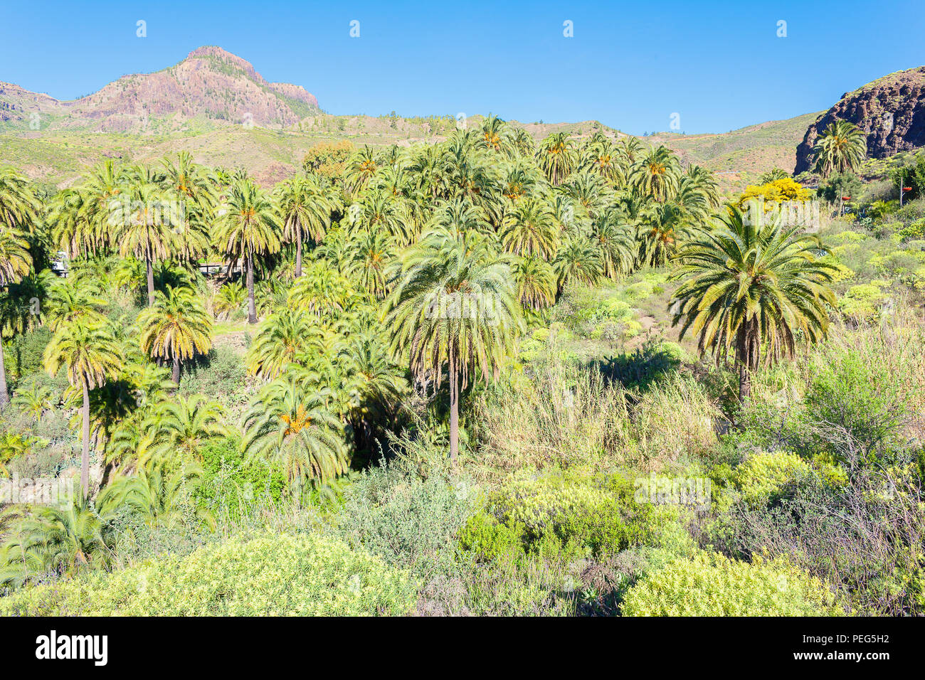 Landscape of palm trees, Gran Canaria, Canary Islands, Spain - Stock Image