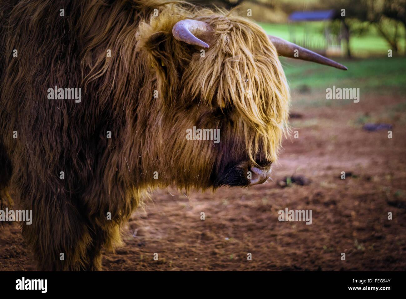 cattle horn bull germany Stock Photo