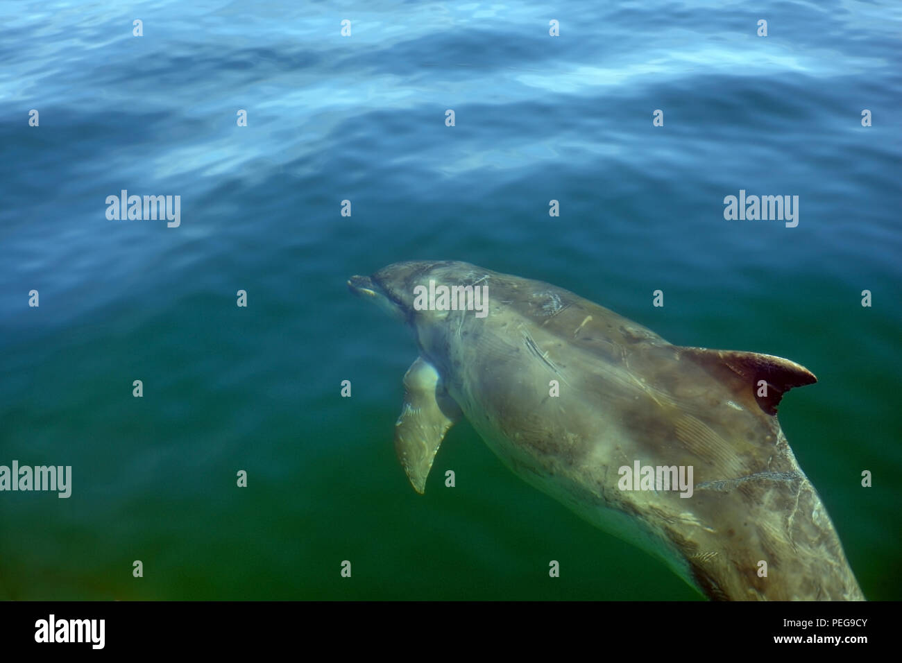 Bottlenose dolphin with scars and marks swimming in the clear waters around the Isle of Mull, Inner Hebrides, Scotland Stock Photo