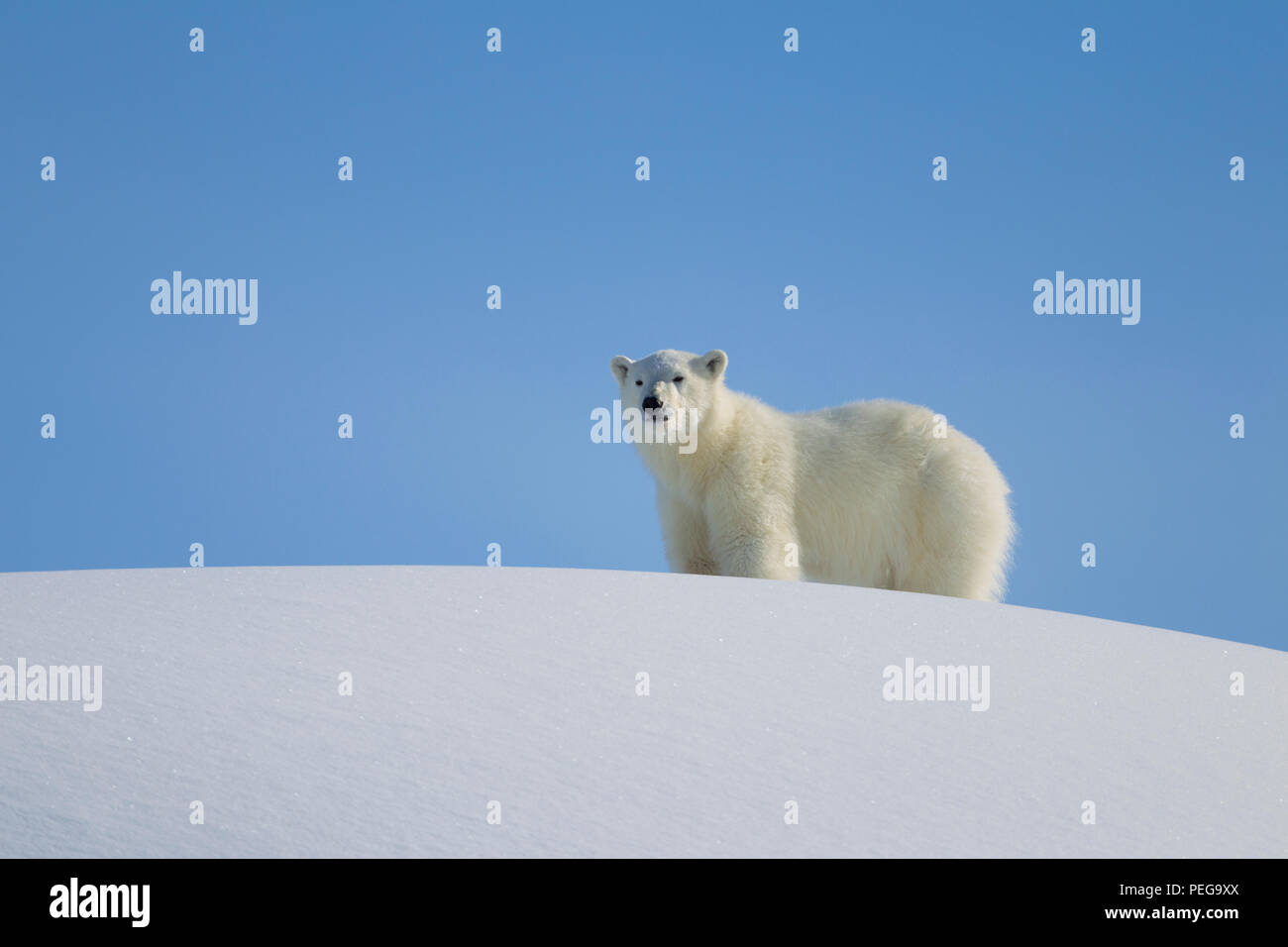 Yearling Polar bear (Baffin Island) - Stock Image
