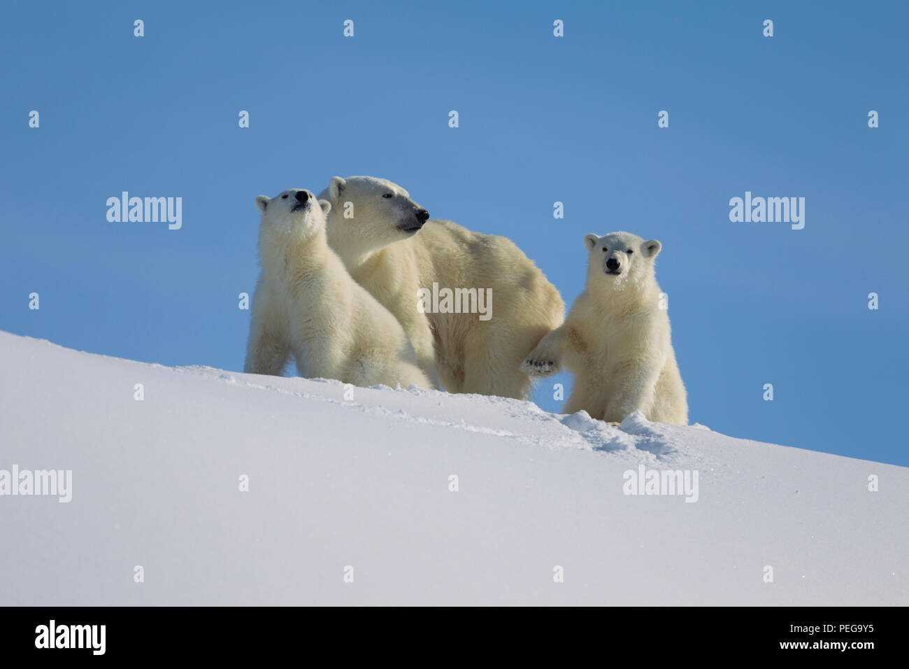 Polar Bear mom and two yearlings (Baffin Island) - Stock Image