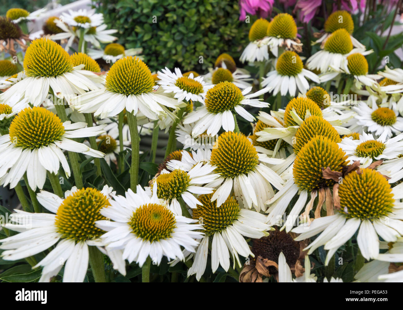 Echinacea 'White Meditation' flowers (Cone flower) in Summer in West Sussex, England, UK. - Stock Image
