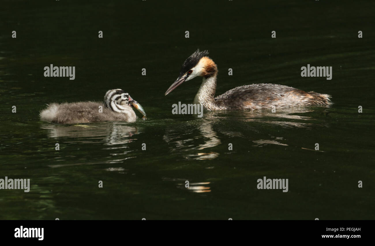 Two stunning Great Crested Grebe (Podiceps cristatus) swimming in a river. The parent bird has just fed the baby with a fish. - Stock Image