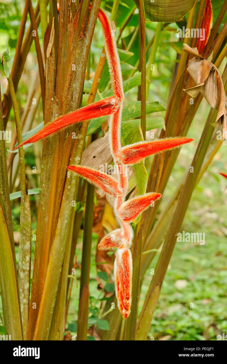Red Heliconia, Tenorio National Park, Costa Rica - Stock Image