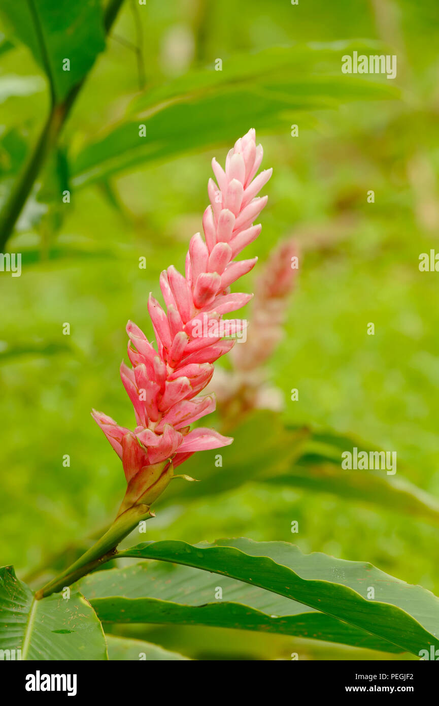 Pink Ginger, Tenorio National Park, Costa Rica - Stock Image