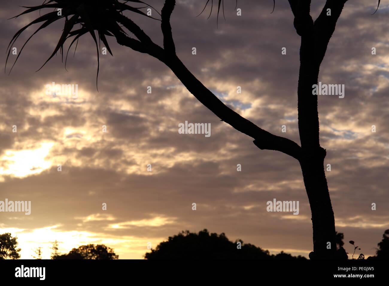Pandanus Screw Palm (Pandanus Tectorius Australianus) at Sunset, Gold Coast - Stock Image