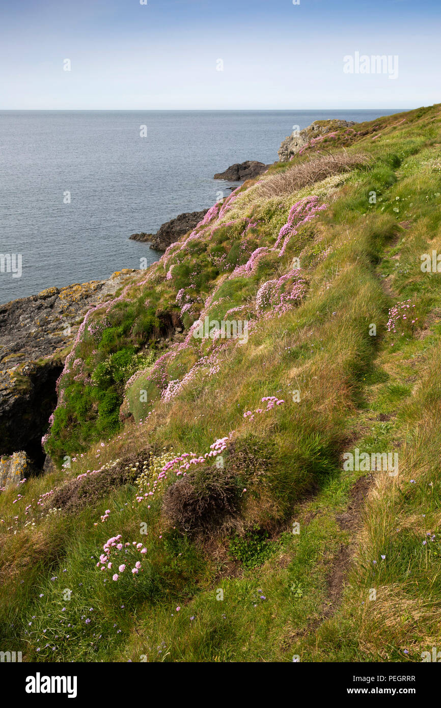 UK, Wales, Anglesey, Trearddur Bay, wild flowers growing beside clifftop path - Stock Image