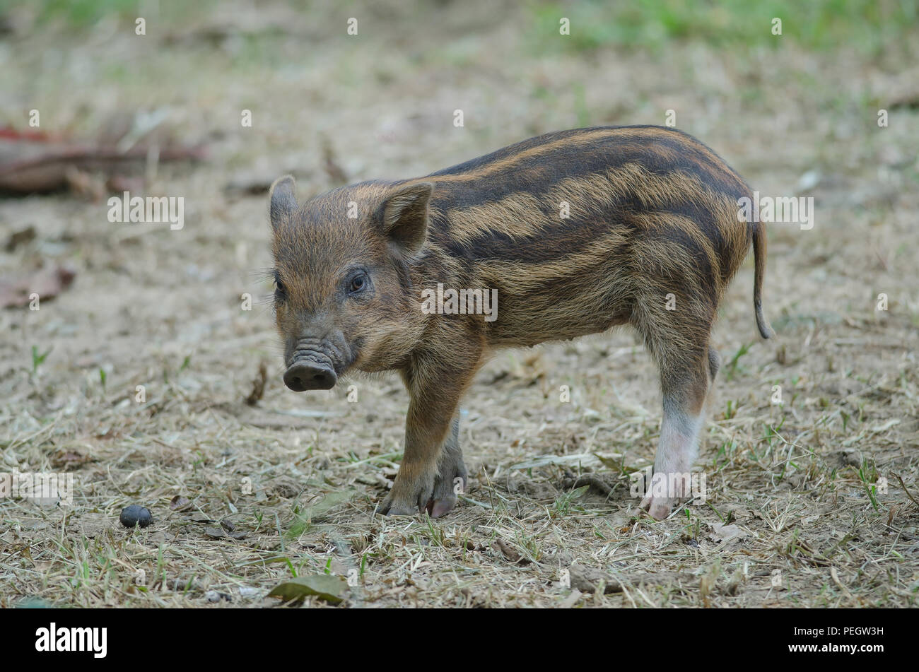 Young Wild Pig or Young wild board piglet (sus scrofa) - Stock Image