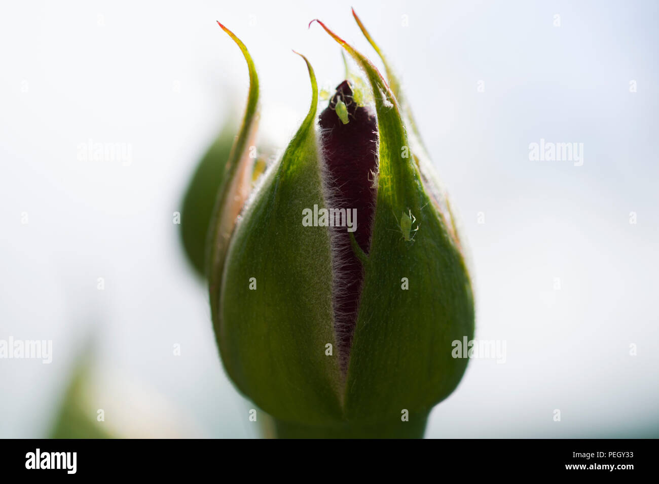 A delicate plant bud invaded by fleas with a white background Stock Photo