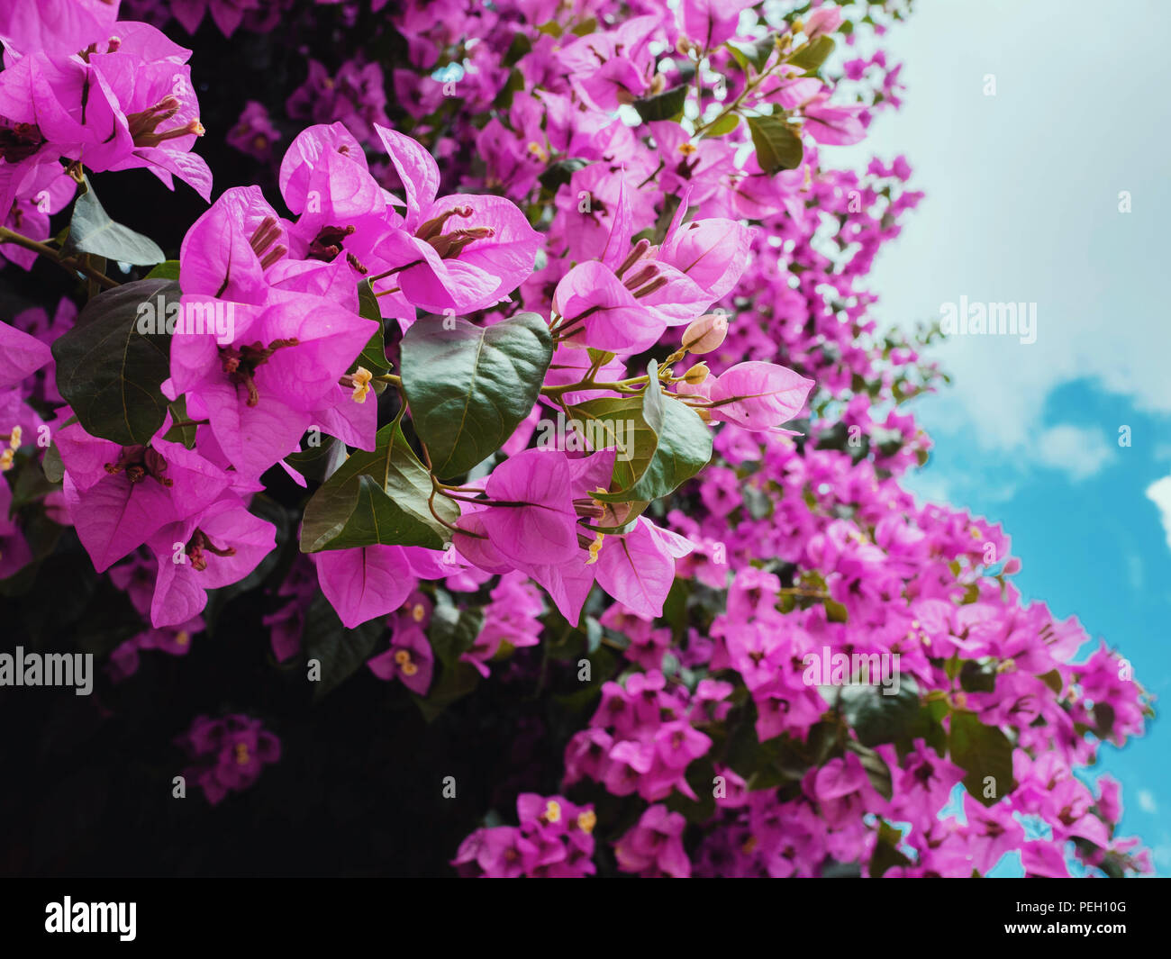 Nyctaginaceae Bougainvillea Glabra Purple Flowers On The Beautiful