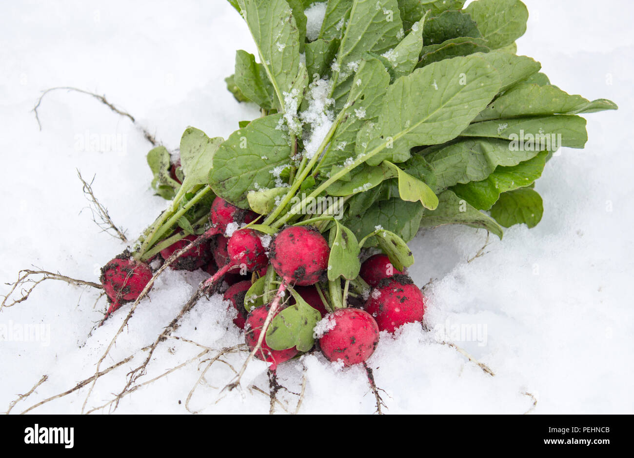 Radish in the snow. Spring frosts. vegetables - Stock Image