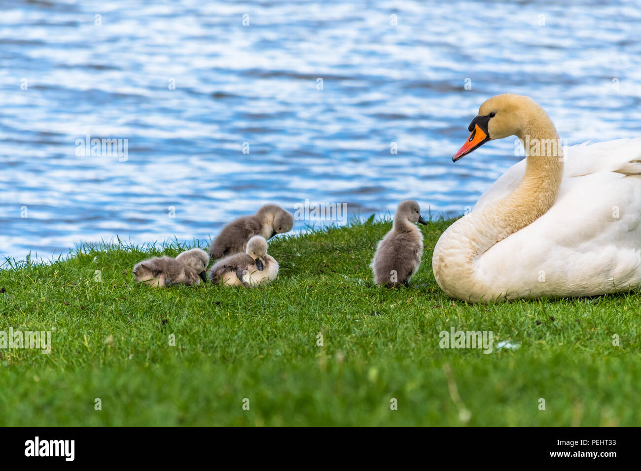 Beautiful young baby swans with their mother. Birds are about two weeks old, grey feathers, a very small and adorable animal. Birds are resting on a g Stock Photo