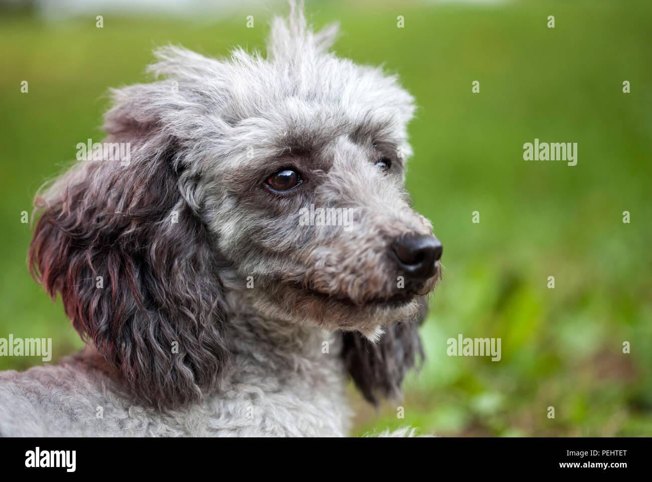 Poodle outdoor portrait Stock Photo