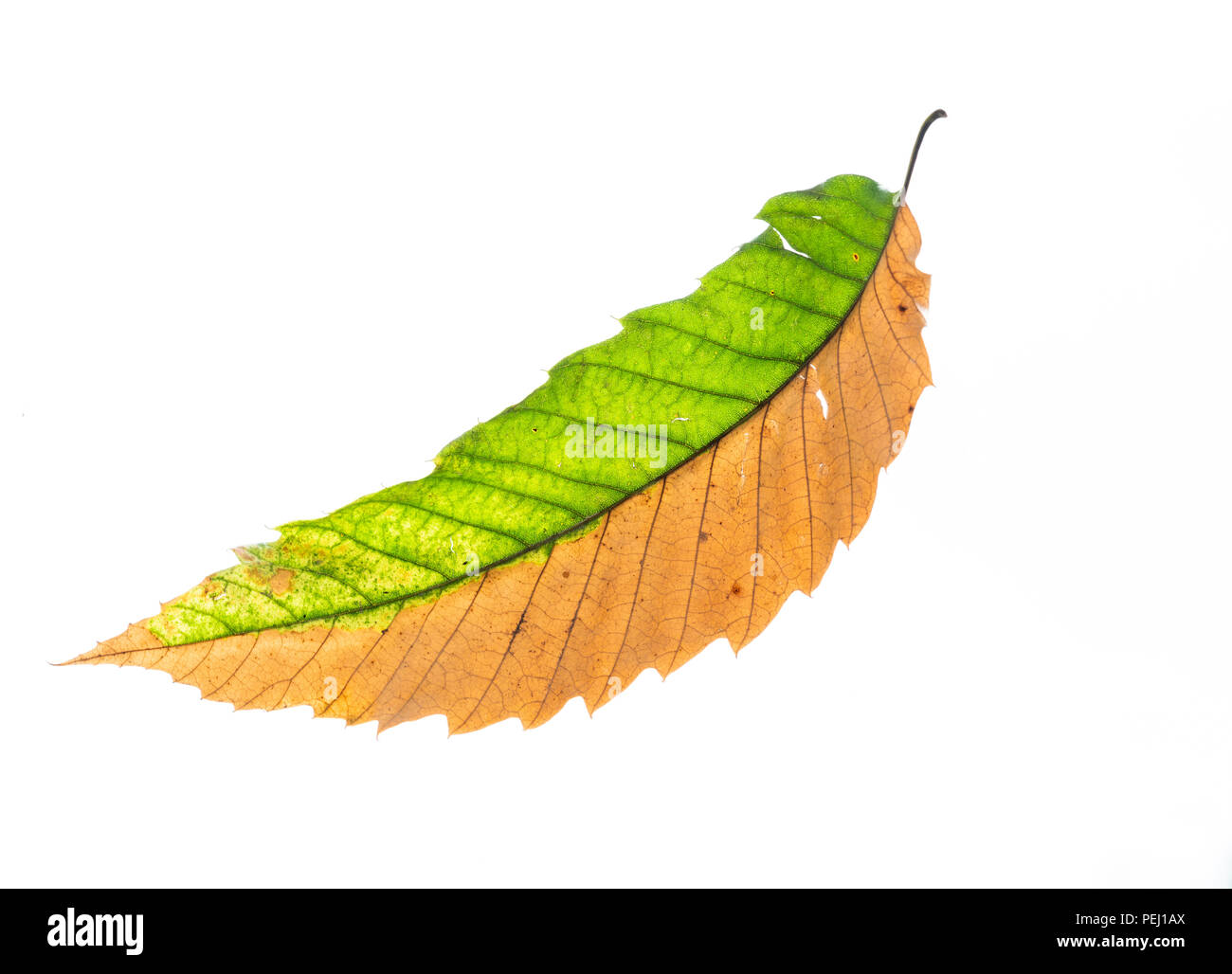 Bicoloured leaf of the sweet chestnut tree (Castanea sativa) dropped from the tree after a particularly dry summer. Shot against white to show detail. Stock Photo