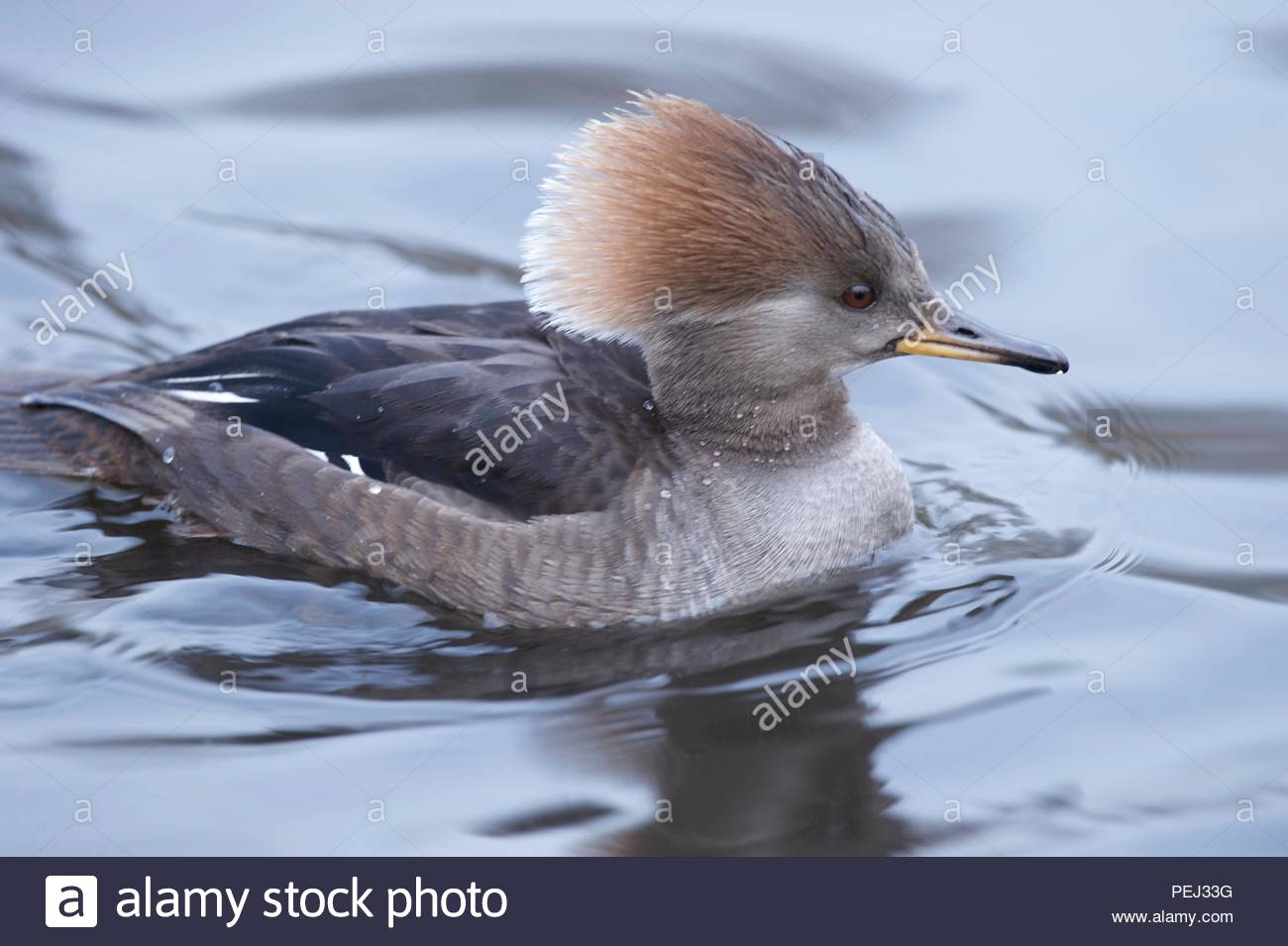 Stew, duck. - Stock Image