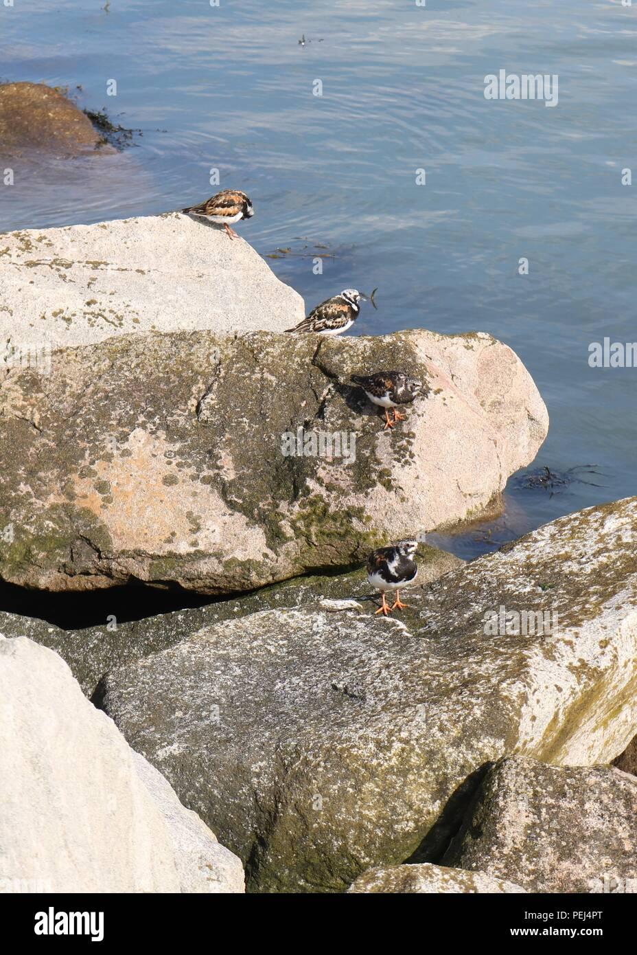 Ringed Plover, Herne Bay , Kent - Stock Image