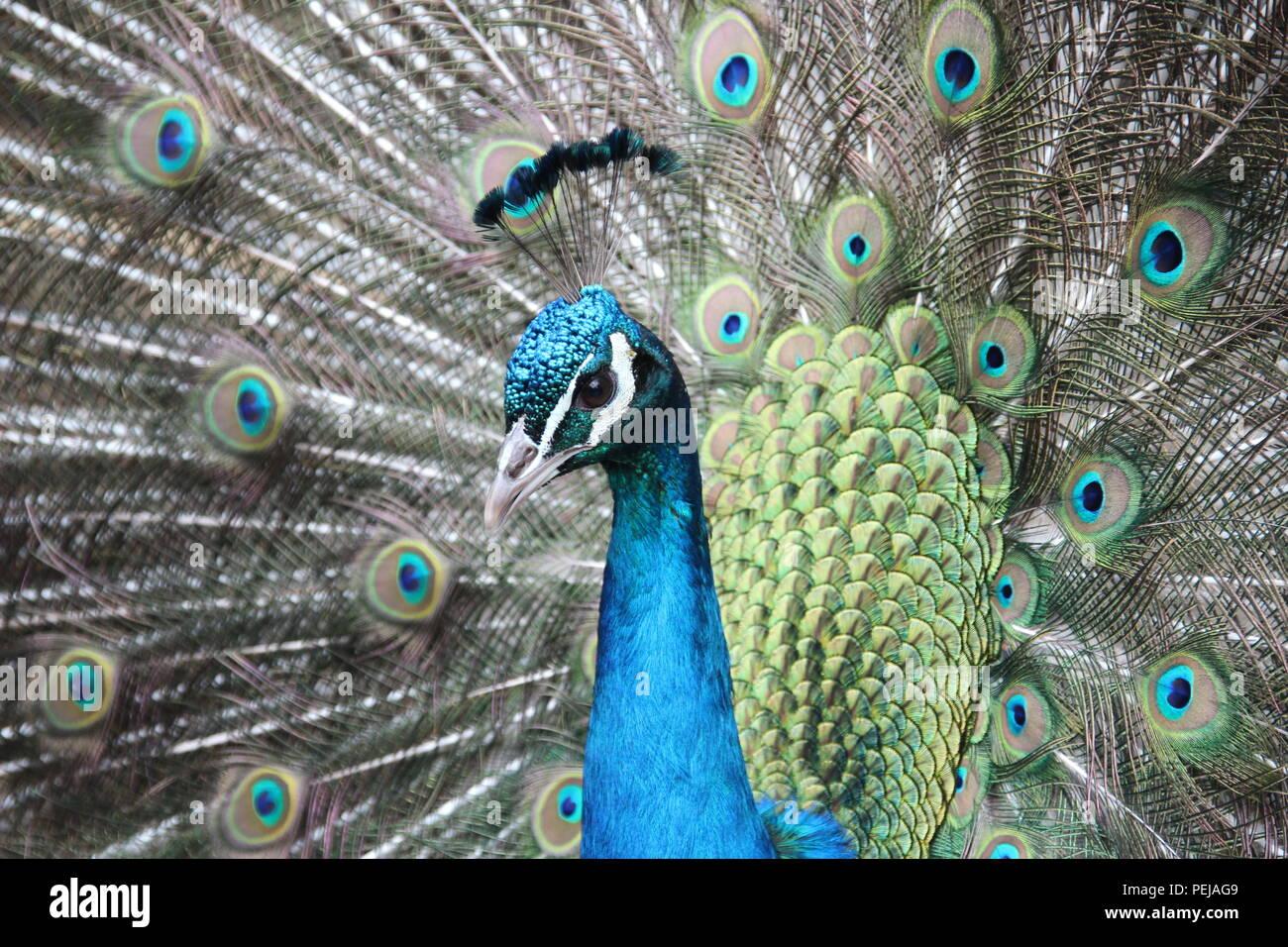 A regal Peacock - Stock Image