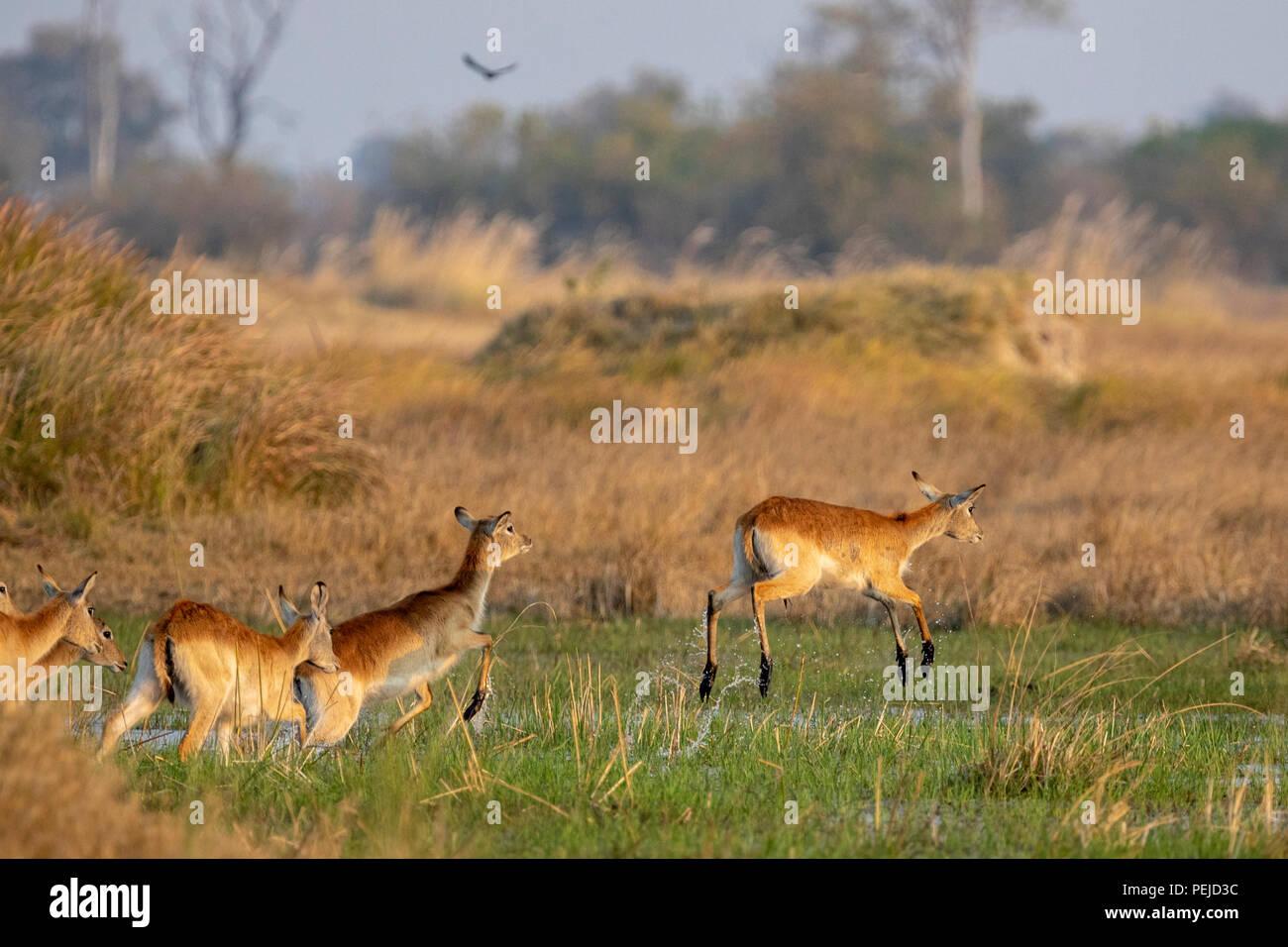Red lechwes running in marsh in Khwai Private Reserve, Okavango Delta, Botswana - Stock Image