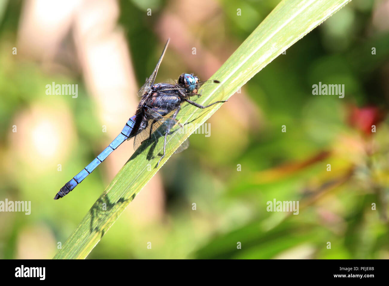 A close up shot on a blue dragonfly which is landing on a leaf, it has large compound eyes, transparent wings, and elongated body - Stock Image