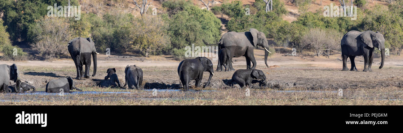 Small herd of African elephants including adult females and babies enjoying the water, Chobe National Park, Botswana - Stock Image