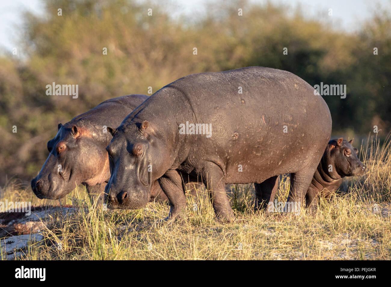 Hippos near Chobe River, Chobe National Park, Botswana - Stock Image