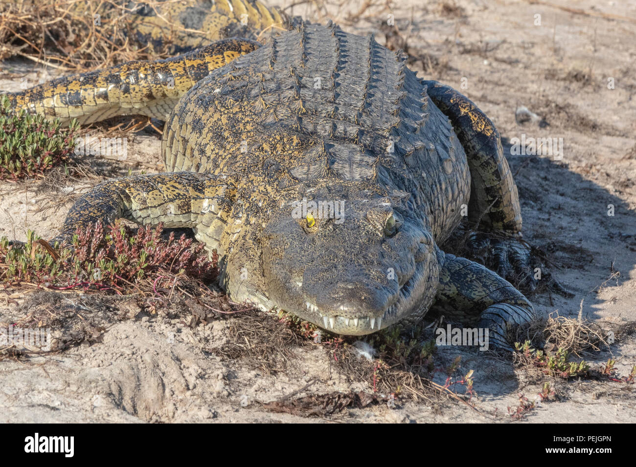 Nile crocodile, Chobe National Park, Botswana - Stock Image