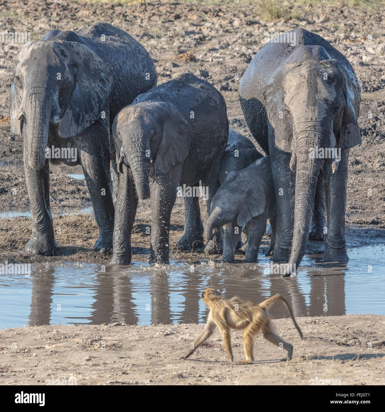 Baboon saunters past a herd of African elephants at a watering hole, Chobe National Park, Botswana - Stock Image