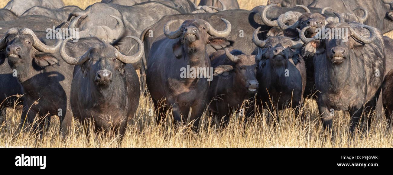 Cape buffaloes in defensive formation; Okavango Delta, Botswana - Stock Image