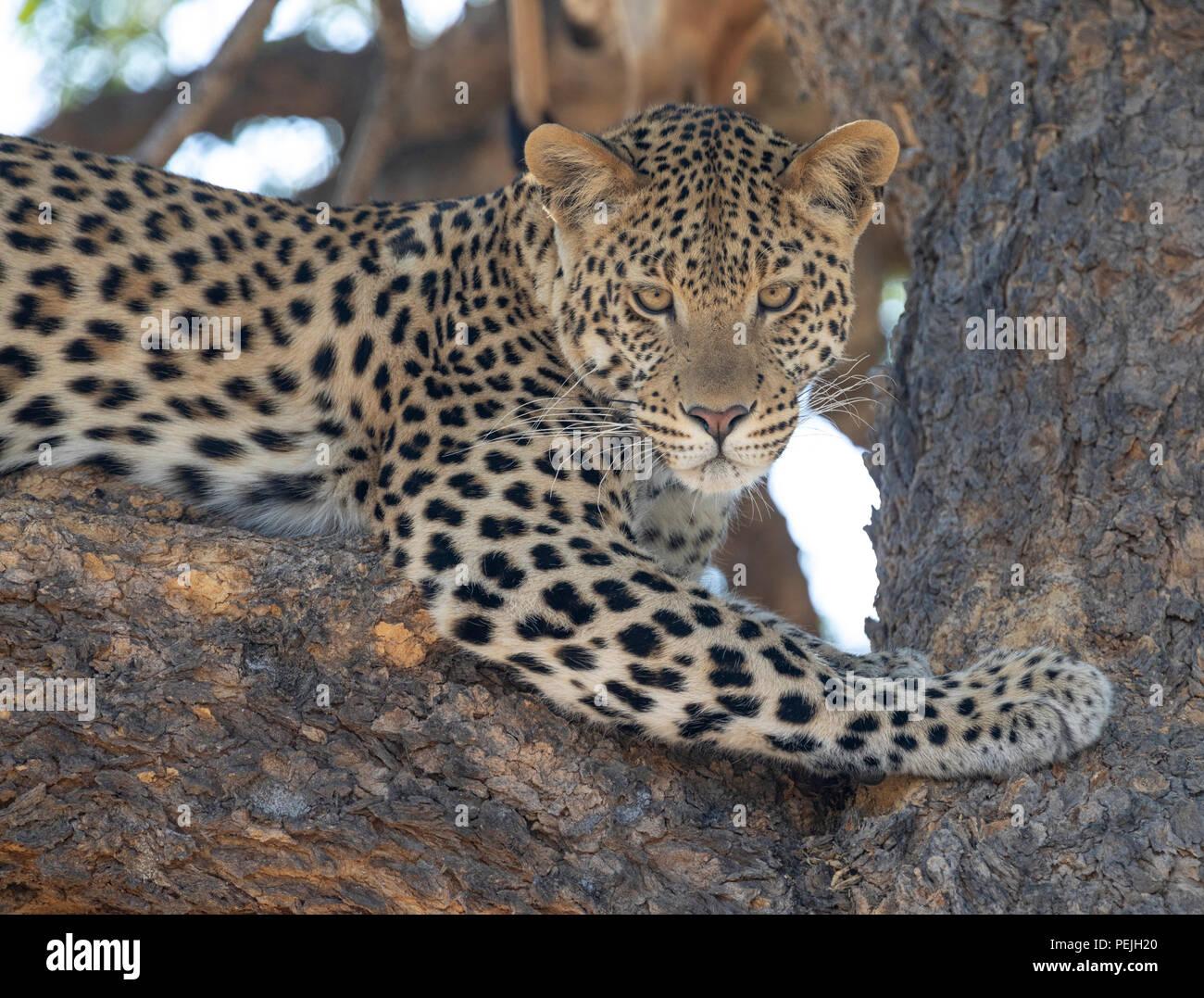Leopard perched in tree with dead impala, Okavanga Delta, Botswana - Stock Image