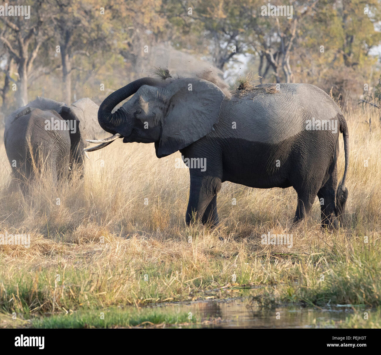 African elephant throws dirt over its back, Okavango Delta, Botswana - Stock Image