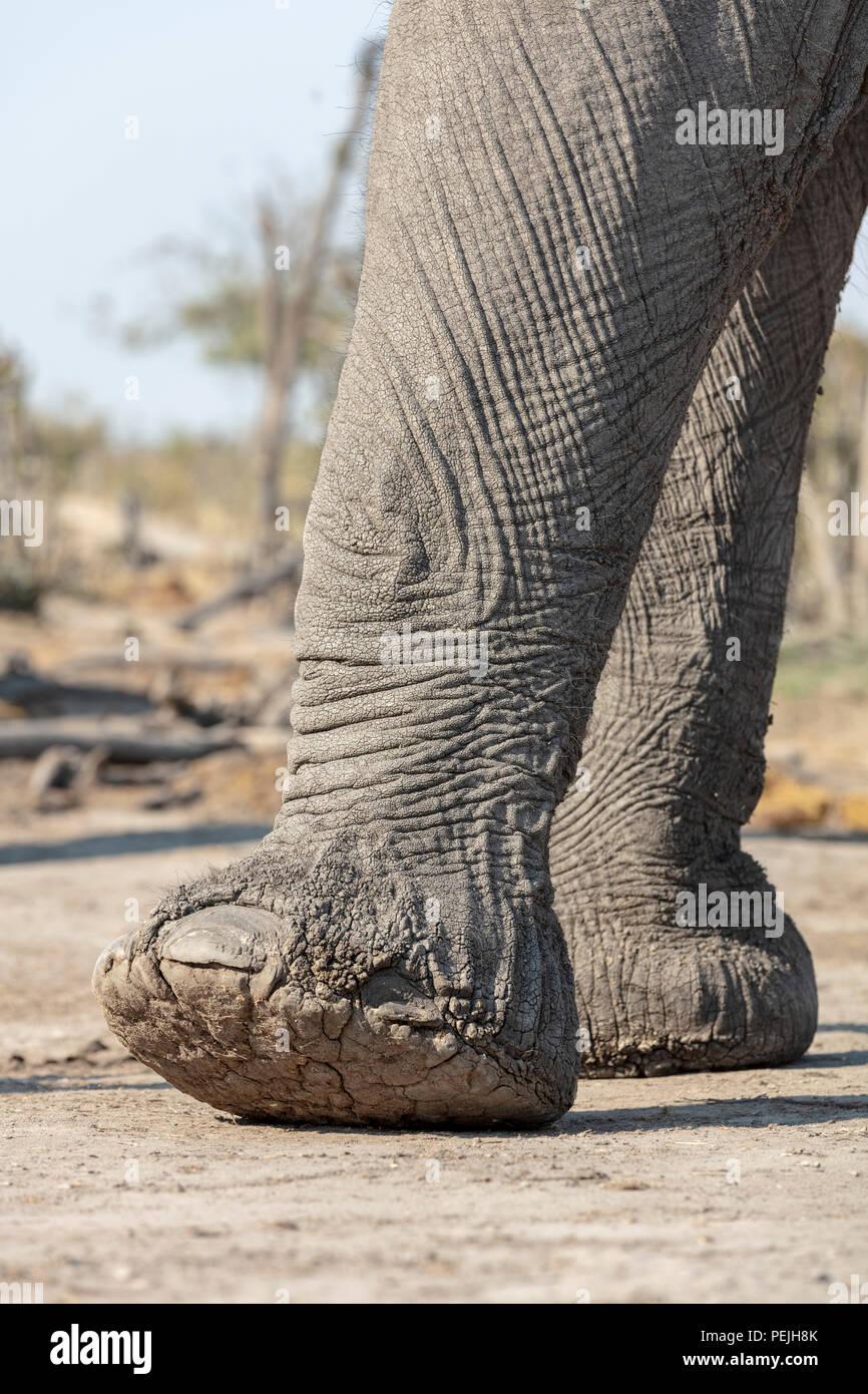 Close up of elephant feet, elephant blind, Khwai Private Reserve, Okavango Delta, Botswana - Stock Image