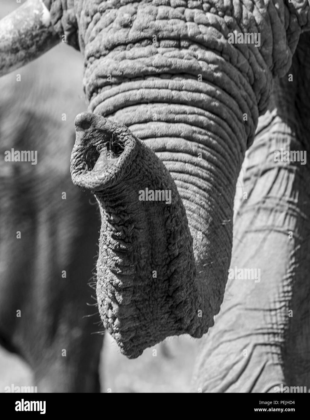 Close up of trunk of African elephant, Khwai Private Reserve elephant blind, Okavango Delta, Botswana - Stock Image