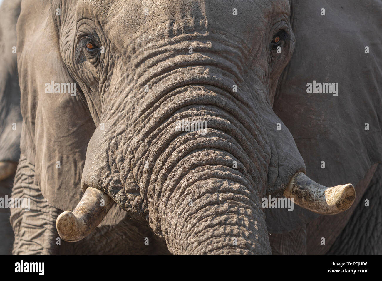Close up of face of African elephant, Khwai Private Reserve elephant blind, Okavango Delta, Botswana - Stock Image