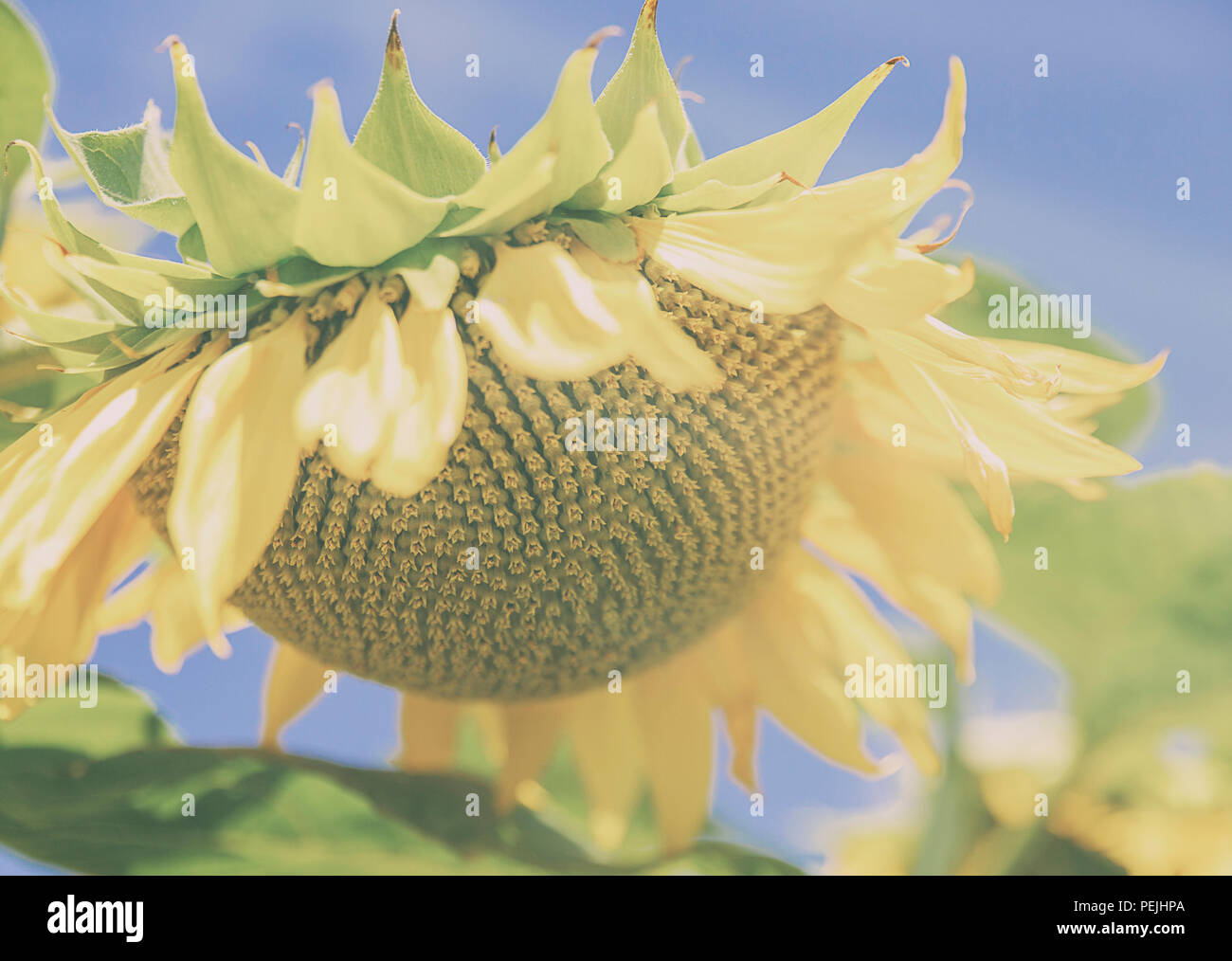 sunflower in august Stock Photo