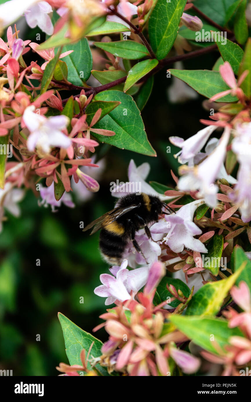 Busy Bees - Stock Image