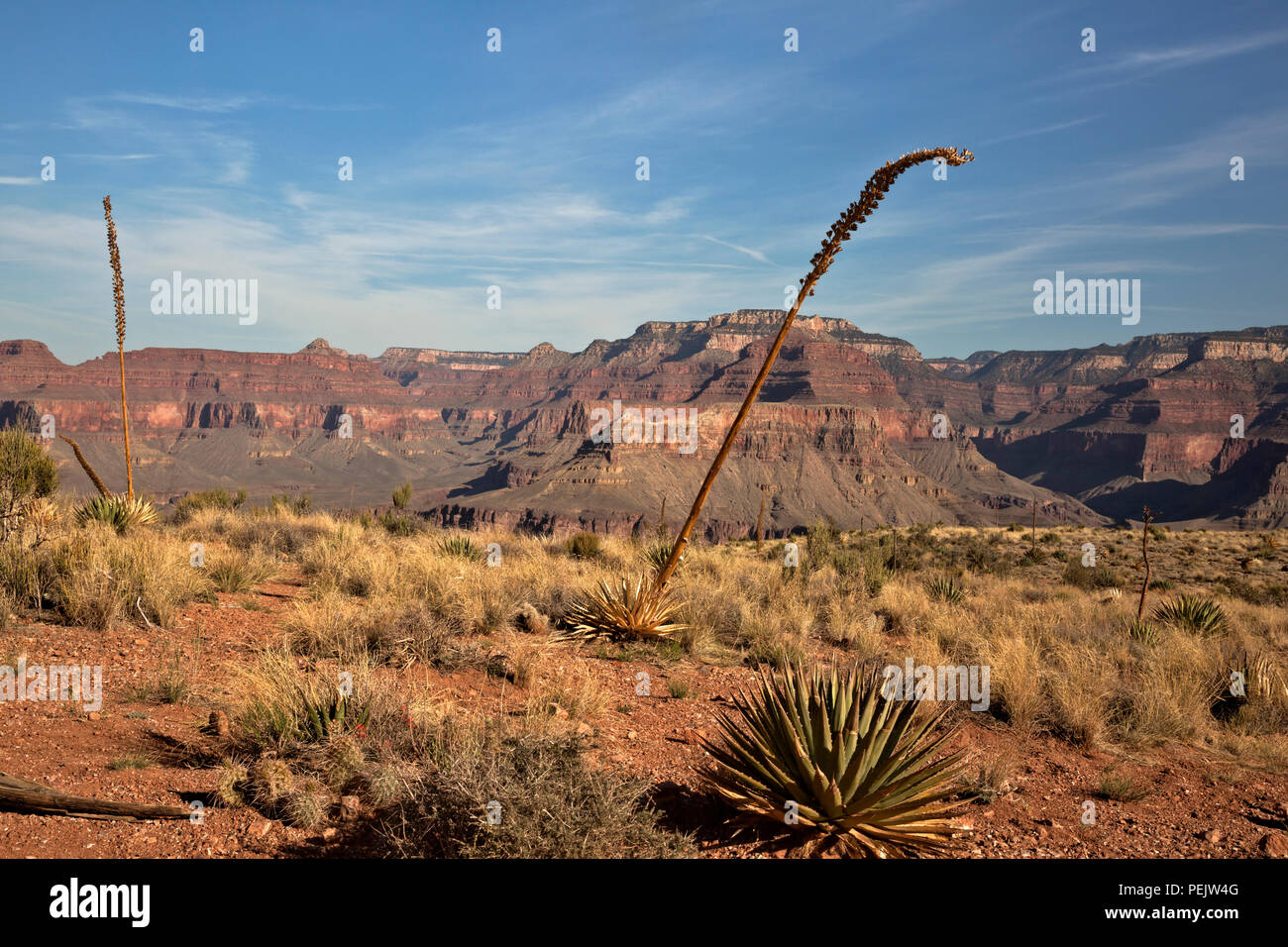 AZ00282-00...ARIZONA -Desert vegetation along the trail in the Cedar Ridge area, a popular rest stop along the South Kaibab Trail in Grand Canyon NP. - Stock Image