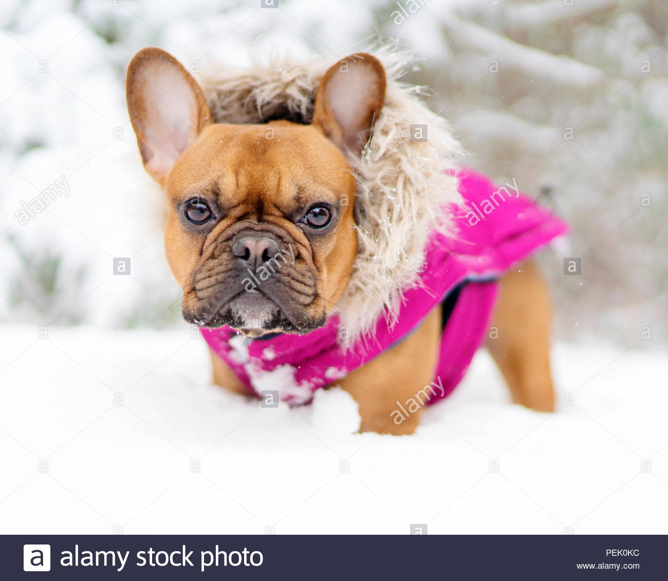 red fawn french bulldog wearing pink parka standing knee deep in snow - Stock Image