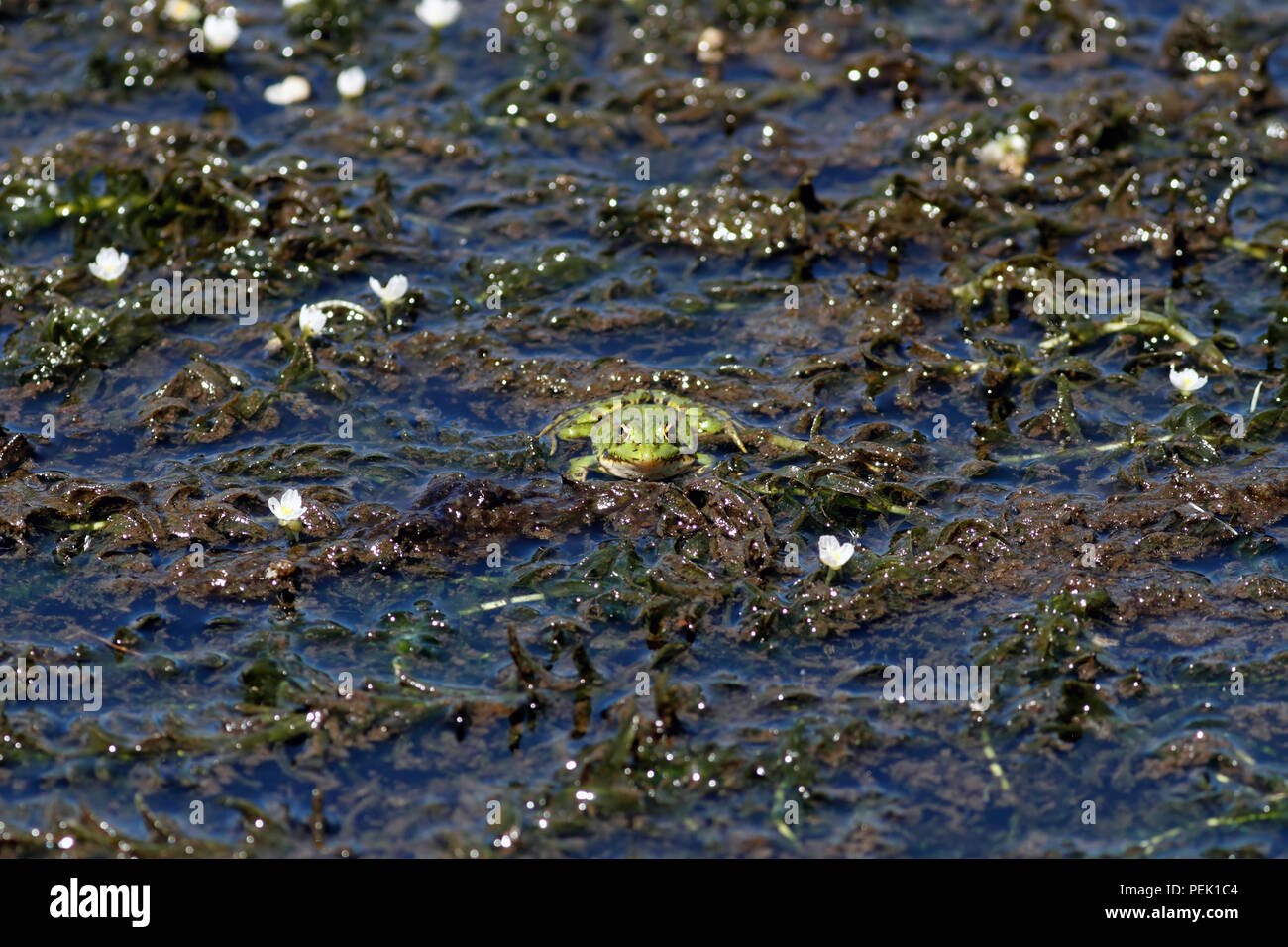 Common European green frog in a swamp - north of Portugal Stock Photo