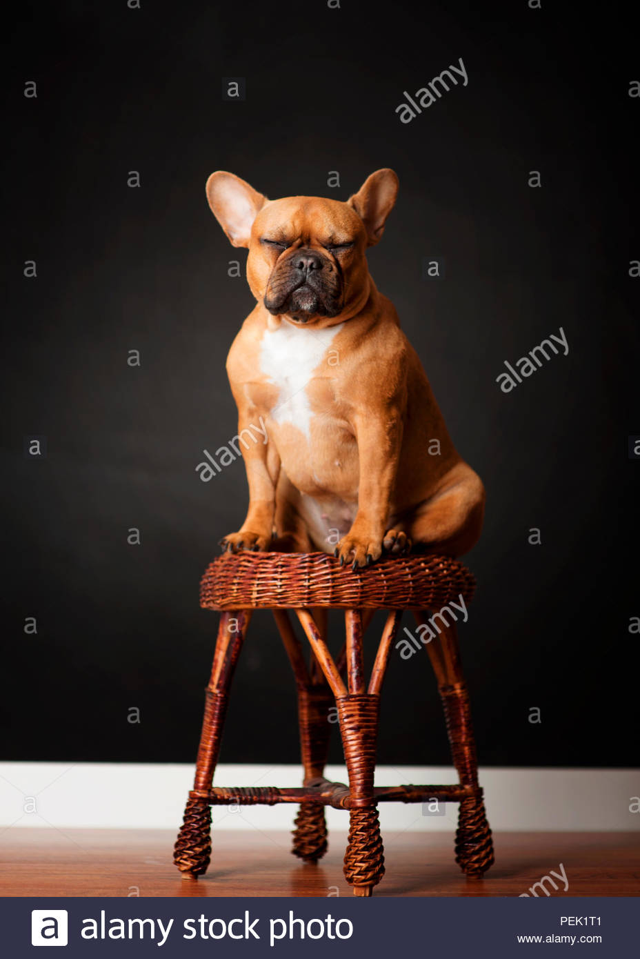 red fawn french bulldog dog sitting on wicker bench posing with eyes closed with black backdrop - Stock Image