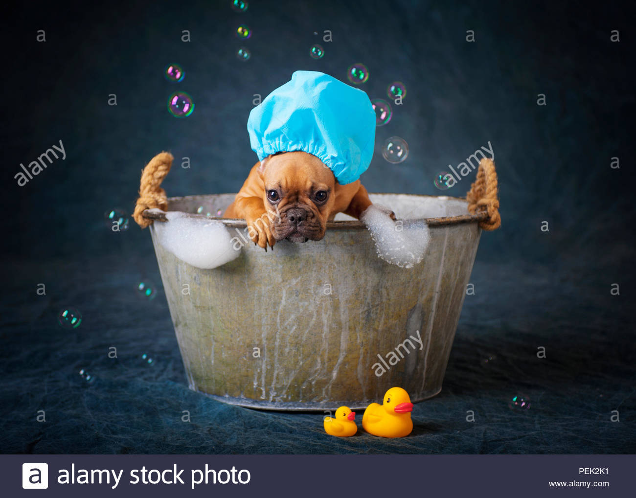 red fawn french bulldog puppy wearing shower cap standing in vintage tub with bubbles on dark blue backdrop - Stock Image