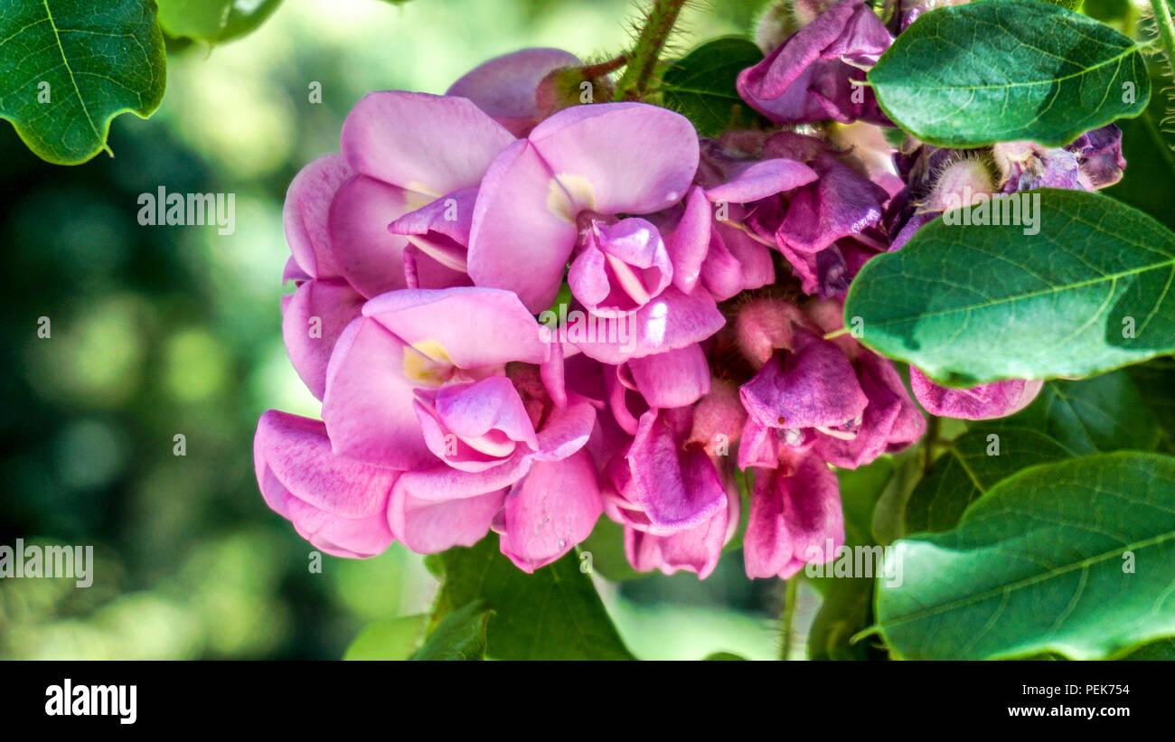 Pink Acacia flowers closeup 1. - Stock Image