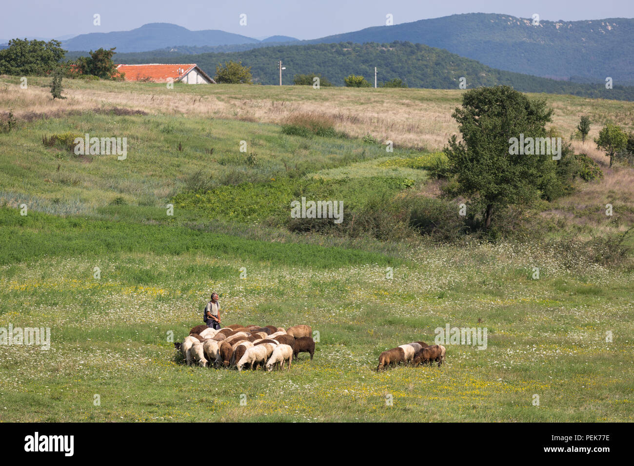 Shepherd guiding his sheep along a field at warm day in summer, Kardzhali Province, Bulgaria Stock Photo